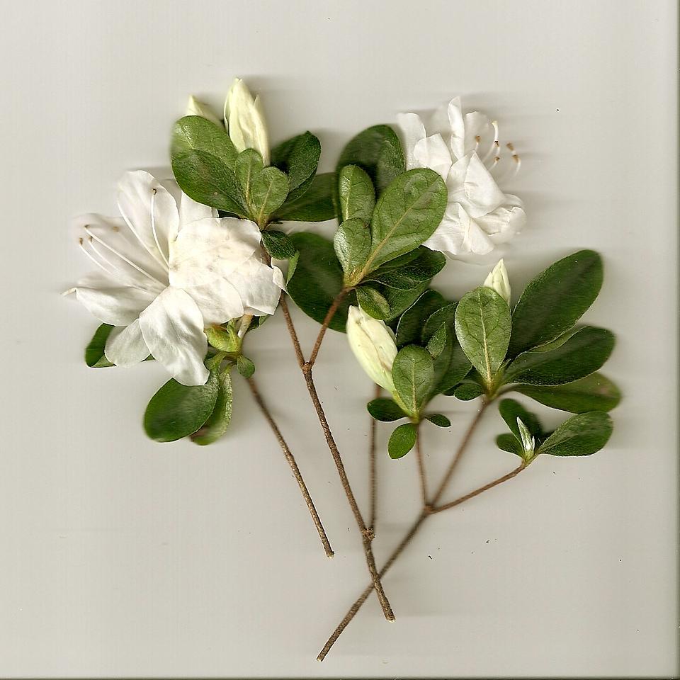 Flower Scan.  Roswell, Georgia.