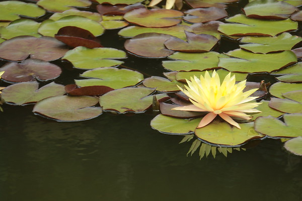'yellow water lilly'