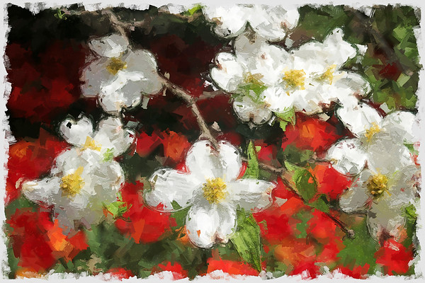 Dogwood blooms_painterly