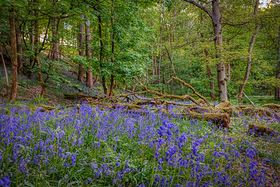 Bluebells at Hoghton Bottoms