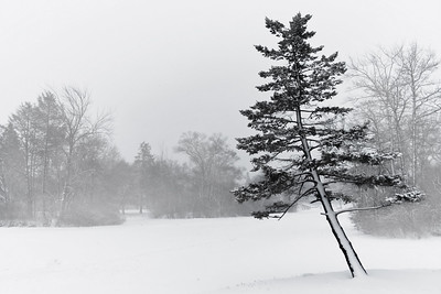 A crooked tree fighting the elements in Elm Park.  Taken by Nate Doggart in Worcester, MA.