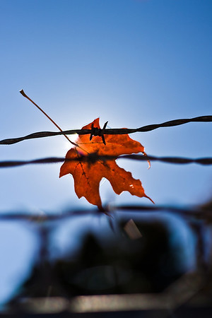 A leaf caught on its journey in barbed wire.  Taken by Nate Doggart in Worcester, MA.