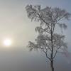 Frozen Birch