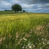 Wild flowers amongst the barley crop, roskill farm, Munlochy, Ross-shire