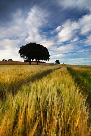 Roskill Barley Field, Munlochy, Black Isle, Ross-shire