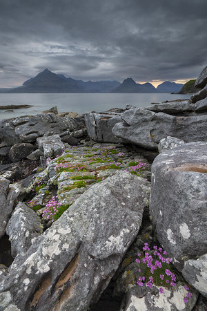 Sea Pink amongst the rocks of Elgol Beach, Elgol, Isle of Skye.