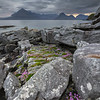 Sea Pink amongst the rocks of Elgol Beach, Elgol, Isle of Skye.
