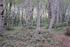 Birch Trees at Usal