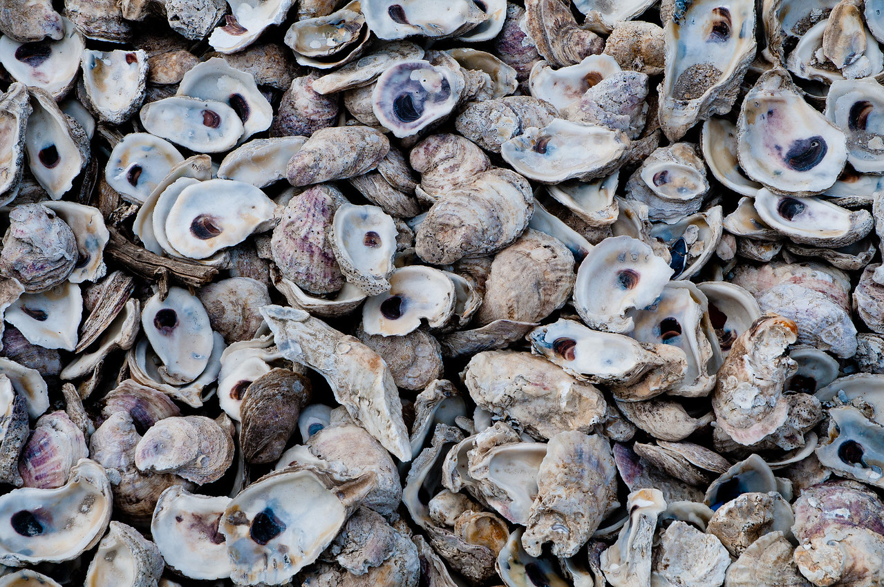 Oyster Shells - Pin Point, GA