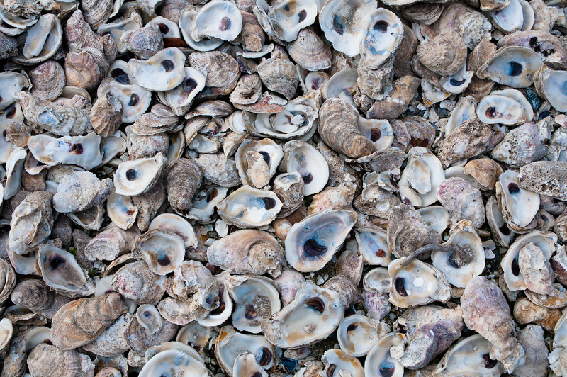 Oyster Shells ........ Pin Point, Georiga