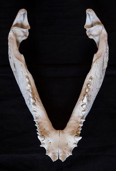 Mandible Nile Crocodile Skull