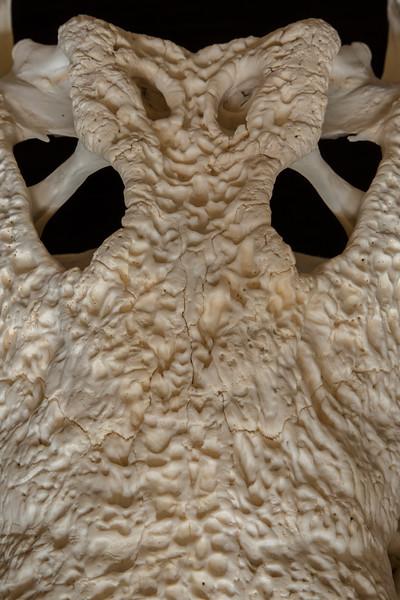 Close up Nile Crocodile Skull