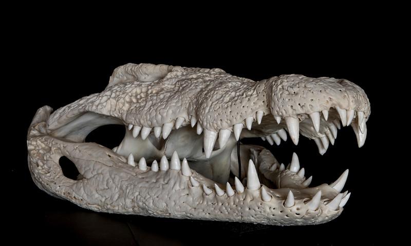 Nile Crocodile Skull