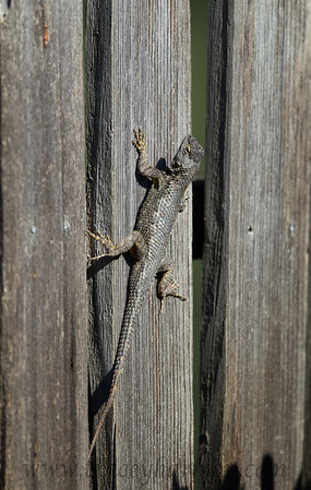 I photographed this male Western Fence Lizard in a San Diego yard.