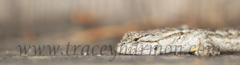 I photographed this Western Fence Lizard as it warmed itself early one morning outside Alpine, California.