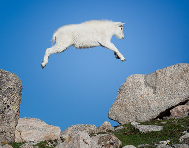Leaping Mountain Goat Kid