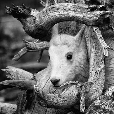 Peeking Goat Kid