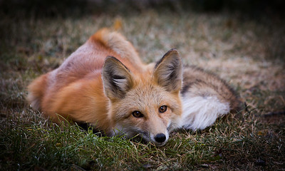 Red Fox Lying in Wait