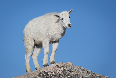 Puzzled Mountain Goat Kid