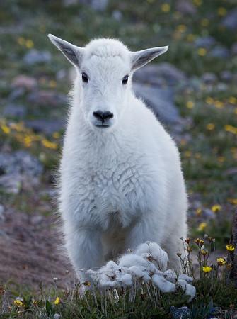 Portrait of a Goat Kid