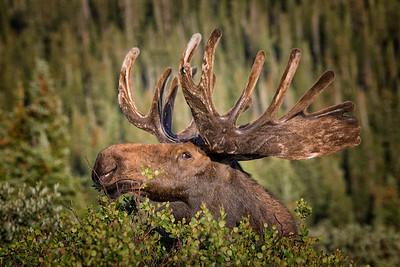 Bull Moose Feeding