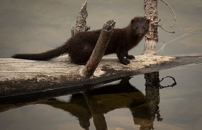 American Mink Reflections