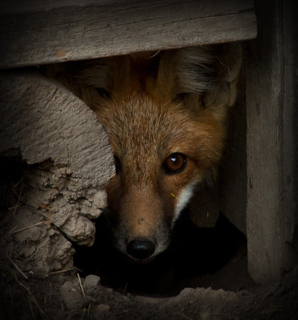 Shy Red Fox Pup