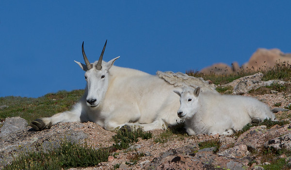 Hanging with Mountain Goat Mom