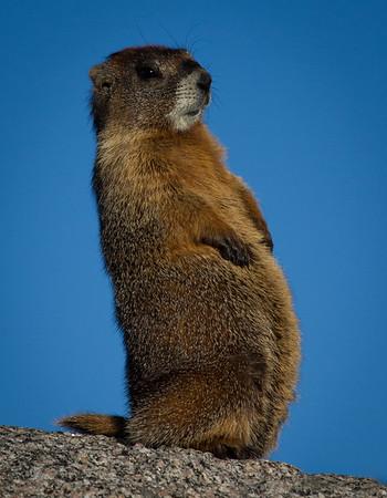 Buddha Marmot
