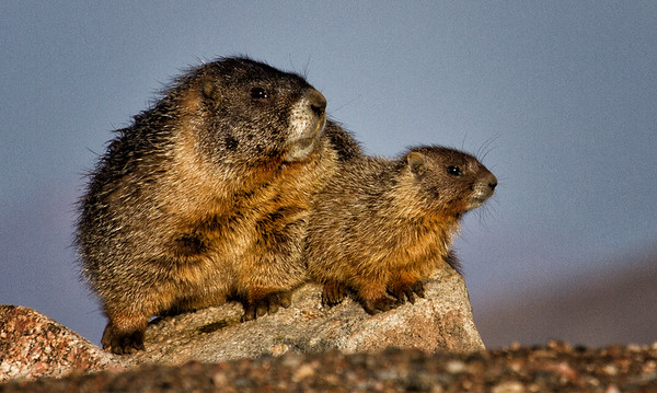 Marmot Mom and Baby