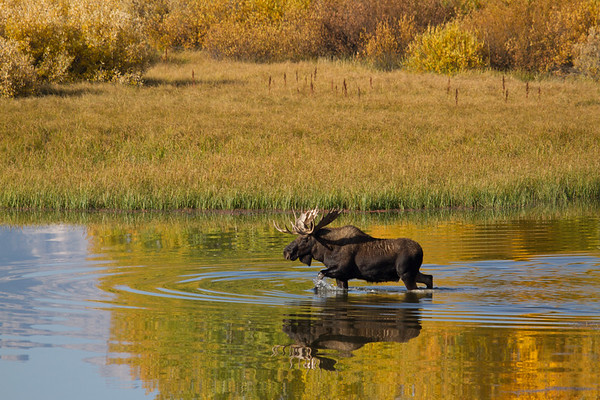 Bull Moose Fall Reflections