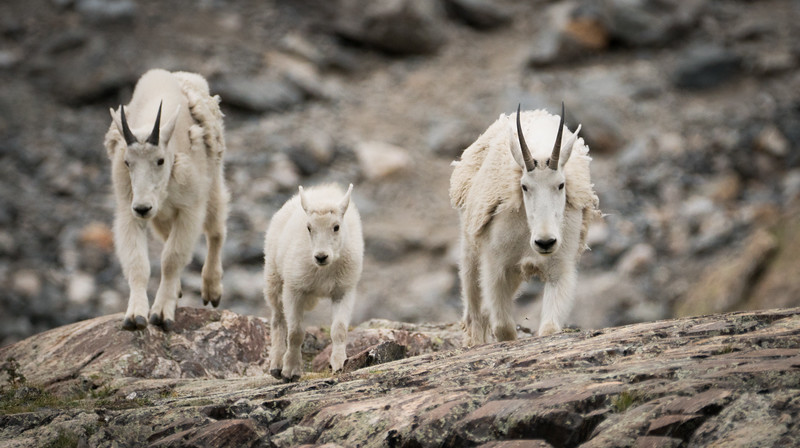 Mountain Goat Family on the Move
