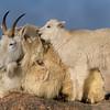 Mountain Goat Maternal Bliss