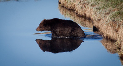 Grizzly Reflections