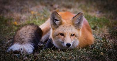 Red Fox Awakened from Nap