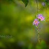 Haveri Flower