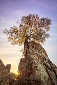 Knights Ferry Tree Sunstar