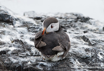 Puffin resting