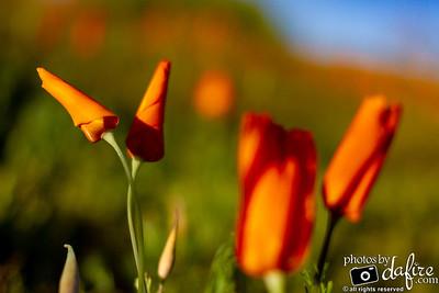Wildflowers in AZ, 2019