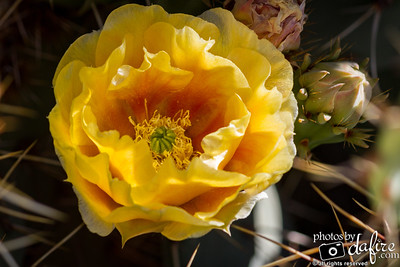 Yellow Petals Rising