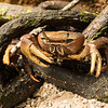 Crab in the mangrove forest on Seychelles.
