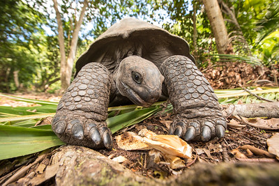 Giant Aldabra tortoise on an island in Seychelles.