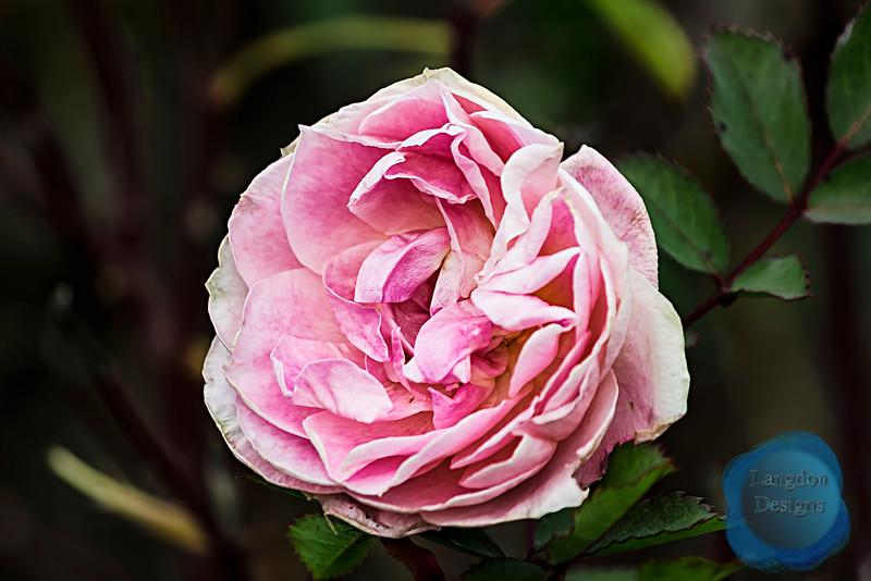Morden Blush Canadian Shrub Rose