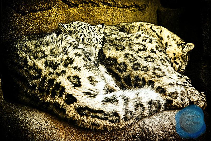 Sleeping Snow Leopards