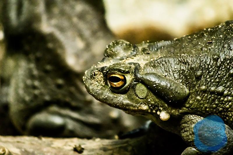 Sonoran Desert Toad