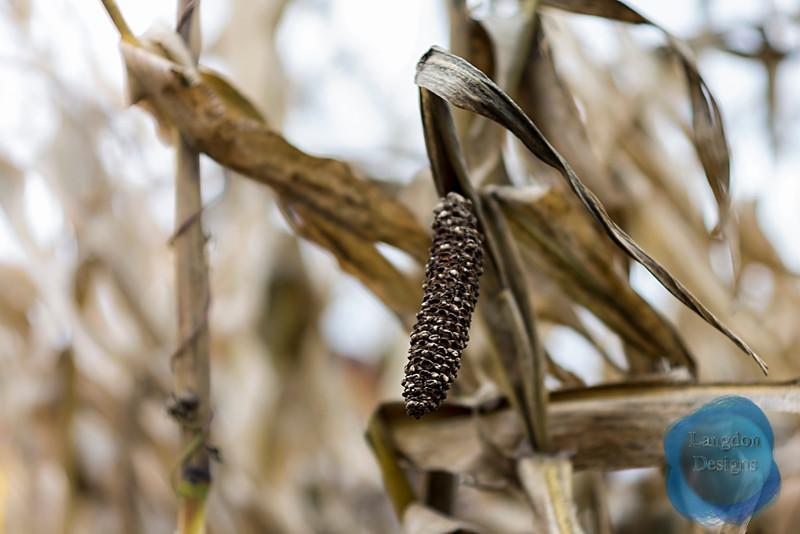 Bare Corn