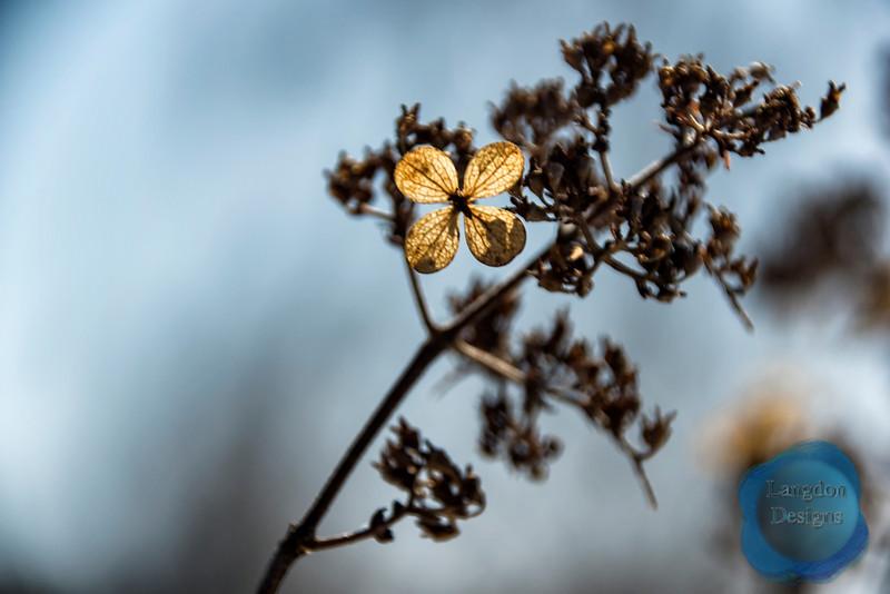Panicle Hydrangea