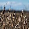 Prairie Cattail 2