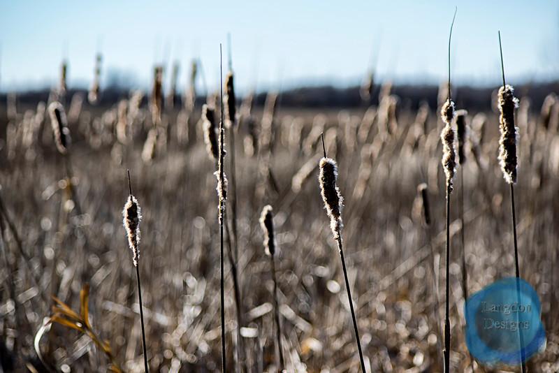 Prairie Cattail 3