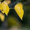 Ash Tree Leaves